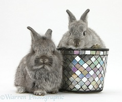 Young Silver Lionhead rabbits and decorative flowerpot
