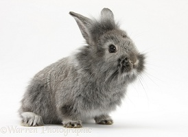 Young Silver Lionhead rabbit