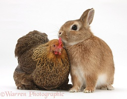 Chicken and Netherland dwarf-cross rabbit