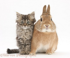 Tabby kitten and sandy rabbit