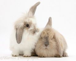 Young windmill-eared rabbits