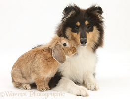 Rough Collie and black rabbit