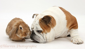 Bulldog and Sandy Lionhead-cross rabbit