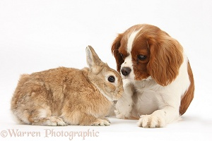 Cavalier bitch and Netherland-cross rabbit
