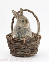 Baby agouti rabbit in a wicker basket