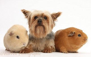 Yorkie and Guinea pigs