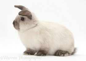 Young colourpoint rabbit