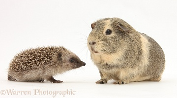 Baby Hedgehog and Guinea pig