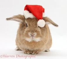 Rabbit wearing a Santa hat