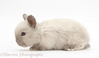 Baby colourpoint rabbit