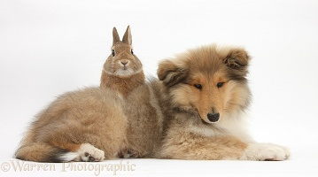 Rough Collie pup and rabbit