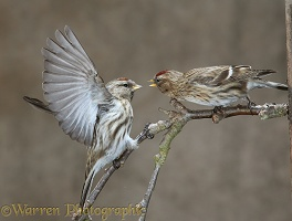 Redpolls fighting