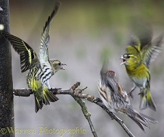 Siskins and redpoll fighting