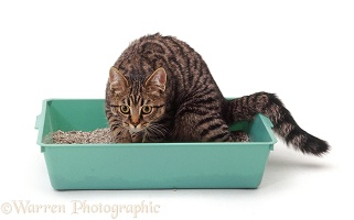Tabby cat using a litter tray
