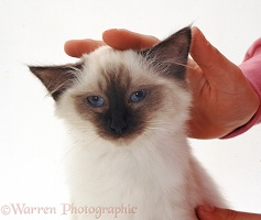 Siamese kitten enjoying being stroked