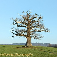 Ockley Oak - Winter 2011
