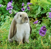 Young sooty fawn English Lop rabbit among flowers