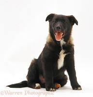 Collie x Norwegian Elkhound pup