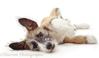 Patterdale x Jack Russell Terrier pup