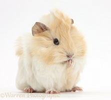 Young cinnamon-and-white Guinea pig washing a paw