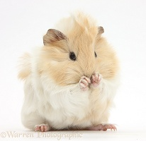 Young cinnamon-and-white Guinea pig, washing paws