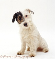 Rough-coated Jack Russell Terrier pup