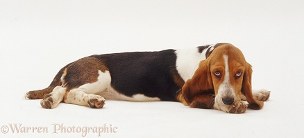 Tired Basset Hound pup