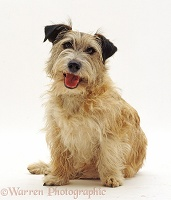 Patterdale x Jack Russell Terrier dog