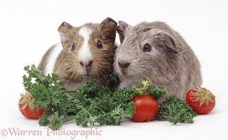 Young Guinea pigs eating vegetables