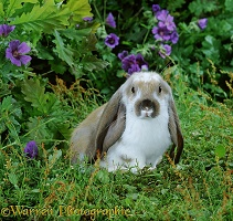 Young Butterfly English Lop rabbit among flowers