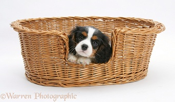 Cavalier King Charles Spaniel pup in a wicker basket