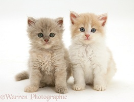 Persian-cross kittens