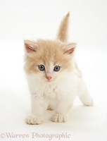 Ginger-and-white Persian-cross kitten