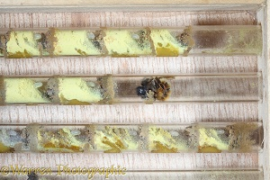 Mason bee building cell