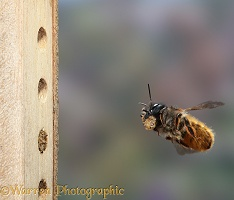 Red Mason Bee carrying mud