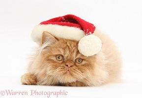 Ginger Persian male kitten wearing a Santa hat