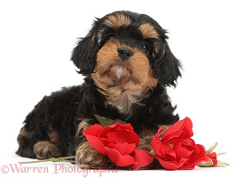 Cavapoo pup with red roses