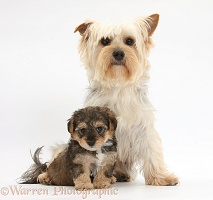 Yorkie mother with Yorkipoo pup