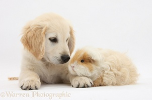 Golden Retriever pup and Guinea pig