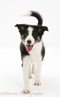 Odd-eyed Tricolour Border Collie pup, trotting forward