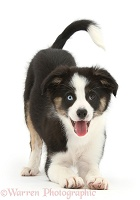 Playful odd-eyed Tricolour Border Collie pup