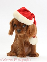 King Charles pup wearing a Santa hat