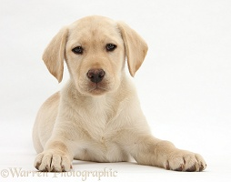 Yellow Labrador Retriever puppy, 10 weeks old