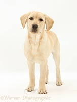 Yellow Labrador Retriever pup, 5 months old, standing