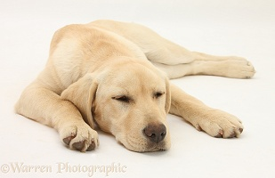 Sleepy Yellow Labrador pup, 5 months old