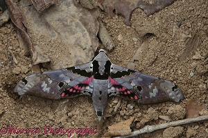 Camouflaged rainforest hawkmoth