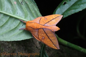 Rainforest moth