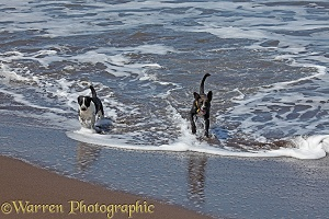 Dogs coming out of the sea after a swim