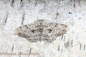 Great Oak Beauty Moth