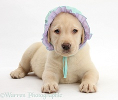 Yellow Labrador pup wearing a baby's bonnet